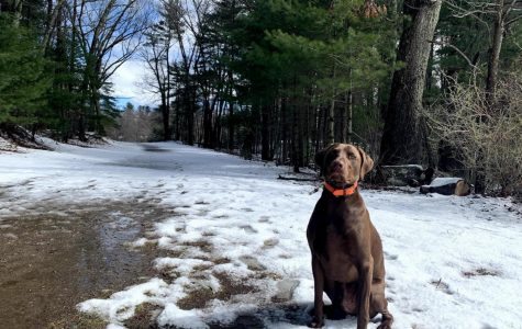 My dog, a Vizsla-Weimaraner mix named Casco sits slightly off the trail as he waits to run free in the open field at Carney Park in Northborough.