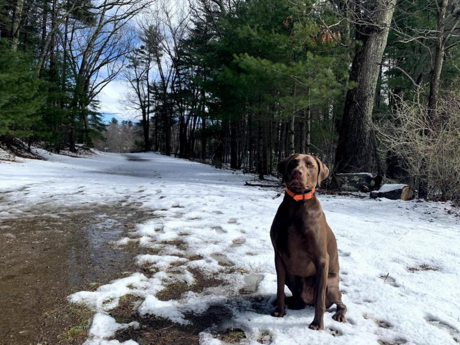 My+dog%2C+a+Vizsla-Weimaraner+mix+named+Casco+sits+slightly+off+the+trail+as+he+waits+to+run+free+in+the+open+field+at+Carney+Park+in+Northborough.