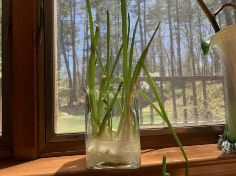 Regrowing scallions, and other alliums, on sunny windowsills is a convenient and food-saving quarantine pastime.