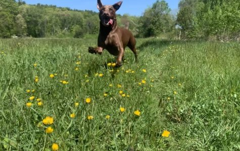 My dog, Casco, gets his exercise by sprinting with joy throughout an open field.