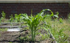 Corn growing from Applied Arts and Technology teacher Zbigniewa Giegucz's Urban Gardening class. Growing vegetables helps the environment and reduces your carbon carbon footprint.